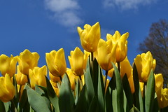 Yellow (Элвин Ваутерсе) Tags: yellow tulips flowers heaven sky skies skylinestudio nikon d3100 elwinw holland netherlands keukenhof clouds wallpaper green blue bunch crop lisse nl plant tulip flower outdoor bright オランダ 荷兰 нидерланды голландия オランダの 荷兰人 голландский амстердам 阿姆斯特丹 アムステルダム