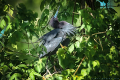 Little Blue Heron - Egretta caerulea (Cajun Snapper) Tags: purple naturallight naturesbest rookery littleblueheron matingdisplay breedingplumage animaleyes purpleblue jeffersonisland bayoucountry feathersandbeaks digitallouisiana