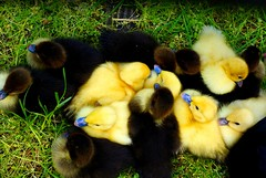 ducklings (explored) (LaLa83) Tags: ohio baby black bird nature animal yellow outdoors spring fuzzy sony feathers duckling may ducks marcy hike alpha waterfowl metroparks 2016 a230 slaterun pickawaycounty ruralohio slaterunmetropark ohiofoothills exploreohio