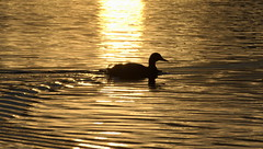 Evening Swim (oliko2) Tags: sunset lake reflection silhouette swim evening duck waves freiburg tamron70300 nikond7100 flckigerseee