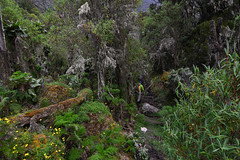 Path in the afro-alpine jungle (supersky77) Tags: vegetation lush vegetazione rwenzori afroalpine rwenzorinationalpark