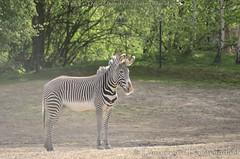 Grvyzebra - Equus grevyi - Grvy's zebra (MrTDiddy) Tags: horse mammal zebra planckendael equus paard dierenpark grevyi zoogdier grvyzebra dierenparkplanckendael grvy grvys