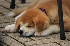 Momo ([Rirri]) Tags: sleeping italy dog animal animals cane puppy momo italia sleep peach val tuscany toscana valdorcia pesca akita dormire animali animale cucciolo dorme inu dorcia dormendo castiglionedorcia