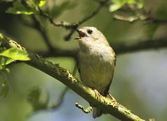 Singing Goldcrest (Prank F) Tags: macro bird nature closeup insect singing wildlife warbler goldcrest wildlifetrust northantsuk ditchfordlakesmeadows