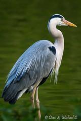 Graureiher / Grey Heron (Doris & Michael S.) Tags: animals zoo tiere tiergarten