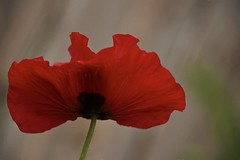 richly red (Pejasar) Tags: red oklahoma nature wind blossom vibrant rich poppy alive tulsa