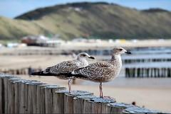Zoutelande (corrieverhulst88) Tags: sea holland beach strand seagull zeeland zee meeuwen