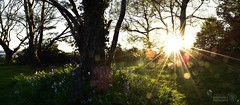 bluebells at Evening Hill, Poole, Dorset (beachaddictphotography) Tags: flowers trees sunset panorama plants sun grass bluebells landscape outdoors nikon outdoor dorset flare sunburst sandbanks poole beachscape d5500