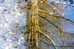Quelques confettis...la nature aussi tait en fte! (**sandrine**) Tags: tree water canon eos eau reflet reflexions arbre lightroom 2016 sandrineneel
