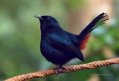 Indian Black Robin - Indu kalukichcha (chethaka) Tags: black male robin indian srilanka blackbird smallbirds indu clouseup commonbirds kalukichcha indianblackrobin indukalukichcha