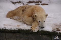 Eisbr Fiete im Zoo Rostock 23.01.2016  013 (Fruehlingsstern) Tags: vienna zoo polarbear vilma eisbr erdmnnchen fiete zoorostock geparden baumknguru canoneos750 tamron16300