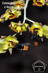 Catasetum x fausti _DSC0391 (Valdison Ap. Gil, Rolim de Moura RO) Tags: brazil brasil catasetum orquidea orquideas mamangava orkids rondõnia xfausti