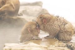 snowmonky-kiss (hiderocket) Tags: animal japan monkey kiss outdoor sony  spa nagano japon jigokudani  snowmonkeys yaenkoen  ilce7m2