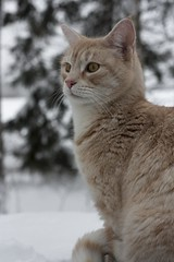 IMG_6809 (Siw Linda) Tags: trees winter orange snow cute animal forest cat eyes beige woods pretty january adorable whiskers mainecoon