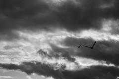 Patos (Lechuza Fotografica) Tags: chile blanco y negro paisaje patos valdivia