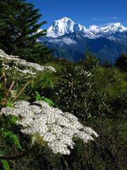 In the Annapurnas (Py All) Tags: nepal mountain snow flower nature fleur montagne trekking trek outside asia outdoor asie neige himalaya pokhara extrieur annapurna randonne poonhill ghorepani