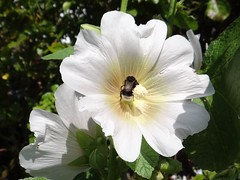 Stockrose mit Hummel (Gartenzauber) Tags: doublefantasy floralfantasy excellentsflowers natureselegantshots mimamorflowers thebestofmimamorsgroups contactgroups esenciadelanaturaleza ruby10 ruby5