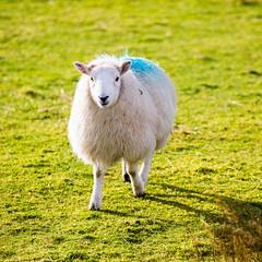 Dopey enjoys a spot of sunshine after Storm Henry (AnnieMacD) Tags: pets scotland sheep highland lambs dopey westerross applecross scotlanduk culduie