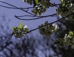 Jolie comme un jour d'Avril (as pretty as an April day) (Larch) Tags: light tree spring branch lumire lou bloom april welcome bienvenue avril arbre printemps branche inbloom enfleur