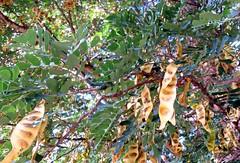 Albizia-forbesii_MoanaluaGarden-Honolulu_Cutler_20160106_154538 (wlcutler) Tags: hawaii pod oahu honolulu albizia maunalua broadpod albiziaforbesii maunaluagarden