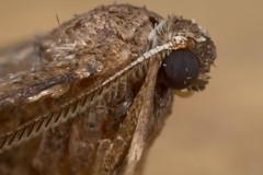 early moth (postcardcv) Tags: macro canon early norfolk moth mpe65