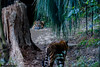 Mimpi  ♀ - Fertig Machen!! Neues Ziel. 12 Uhr. (Belteshazzar (AKA Harimau Kayu)) Tags: usa animal japan gardens sisters cat asian zoo cub dc washington tiger dream daughters pumpkinhead national dell camouflage beast nationalzoo soy yokohama tijger carnivorous tigris tigre tigerstripes thunder bigcats sumatran soyono zoological 虎 predetor zoorasia mimpi guntur flesheating sumatratiger tygr tiikeri thetemptation тигр pantheratigrissumatrae sumatraansetijger asiancat sumatrantigercub tigredesumatra gunchan 苏门答腊虎 thesmithsoniannationalzoologicalpark harimausumatera sumatrakaplanı tygrsumaterský tygryssumatrzański суматранскийтигр szumátraitigris 수마트라호랑이 เสือโคร่งสุมาตรา सुमात्रनवाघ სუმატრისვეფხვი טיגריססומטרה ببرسوماترایی hổsumatra guntursdaughters