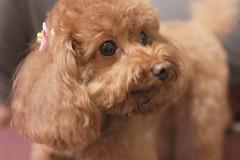 IMG_6638 (Tatsu.C) Tags: life dog holiday home 35mm canon hometown taiwan lifestyle sigma yilan 宜蘭 狗 老家 隨拍 doglife 回家 貴賓狗 s35 sigma35mm 紅貴賓 定焦鏡 canoneos550d