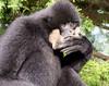 White cheeked gibbon 271215 10 (Leigh James (Fidgitydigit)) Tags: primate gibbon whitecheekedgibbon zoodelaflechefrancezoo