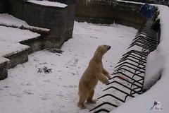 Eisbr Fiete im Zoo Rostock 23.01.2016  018 (Fruehlingsstern) Tags: vienna zoo polarbear vilma eisbr erdmnnchen fiete zoorostock geparden baumknguru canoneos750 tamron16300