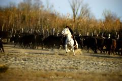 _DSC9544 (chris30300) Tags: france cheval camargue saintesmariesdelamer taureaux gardian provencealpescôtedazur