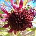 starr-051013-8143-Argyroxiphium_sandwicense_subsp_macrocephalum-flower-West_Rim_HNP-Maui