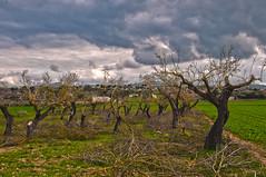 Ametllers podats (Carlos Galan Cladera) Tags: mallorca arbre hdr flors branques gener ametllers santamargalida