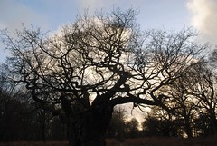 The very old oak tree (zawtowers) Tags: park old winter 6 tree walking oak day walk exploring capital january royal parks saturday conservation dry off richmond ring fenced protection section 23rd amble 2016 wimbledonparktorichmond