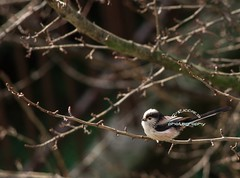 Codibugnolo (GpRiccardi) Tags: naturaleza bird nature wildlife natura uccello wildness codibugnolo