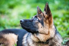 _DSC0281-31012016-2 (Miguel A. Quints V.) Tags: tamron alsatian allemand berger schferhund pastoraleman deutscherschferhund d810 alsaciano tamron7020028vcusd