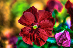 spring in the red (frederic.gombert) Tags: flowers winter light red sun flower color macro colors yellow spring purple pansy macrodreams