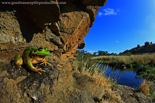 Basking Growling Grass Frog wide angle