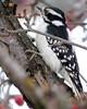 Female Downy (diffuse) Tags: bird female backyard woodpecker downywoodpecker stripes spots crabapple 16feb13 msh0216 msh02163
