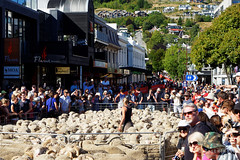 20160206-12-Sea of sheep in Queenstown (Roger T Wong) Tags: city travel newzealand summer people sheep crowd merino nz southisland otago queenstown 2016 sony2470 rogertwong sel2470z sonyfe2470mmf4zaosscarlzeissvariotessart sonya7ii sonyilce7m2 sonyalpha7ii runningofthewools