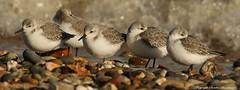 Sanderling (Calidris alba) (Sandra Standbridge.) Tags: sea bird birds kent seaside waves outdoor pebbles waders hightide sanderling wildandfree