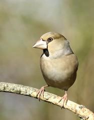 Grosbec casse-noyaux Lavaur Tarn (brigitte.reinach) Tags: hawfinch grosbeccassenoyaux coccothraustescoccothraustes fringillids passriformes