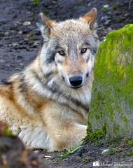Lone Wolf (Micha Eickelmann) Tags: wild portrait nature lumix zoo wolf wildlife panasonic fz200