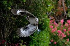 DSC_0011 (RUMTIME) Tags: bird nature birds fly flying flight feathers feather queensland kookaburra coochie coochiemudlo