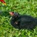 Eurasian Moorhen (Gallinula chloropus) young chick