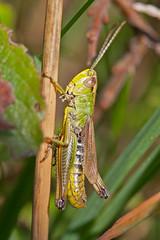 Meadow_Chorthippus-parallelus-male-5 (skully_bob) Tags: insect grasshopper orthoptera cambridgeshire invertebrate devilsdyke