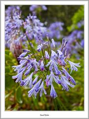 Agapanthus (flatfoot471) Tags: summer england holiday plant nature cornwall unitedkingdom normal tresco islesofscilly abbeygardens 2015