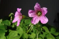 Oxalis corniculata - Acetosella dei campi (vincenzolerro) Tags: smrgsbord sonyt77vaqrie