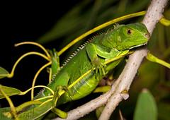 Green Iguana (Nick Scobel) Tags: green florida lizard exotic iguana species