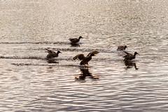 Ducks Ducks (stas.kirenkov) Tags: park bird nature birds wildlife pushkin  tsarskoyeselo  500px catherinepark