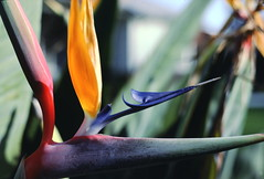 Strelitzia_reginae_1_2 (Mark Egger) Tags: musaceae strelitziareginae